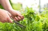 Hausse des cas d'intoxications avec des plantes
