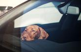 Canicule : que faire si on trouve un animal enfermé dans une voiture au soleil ?