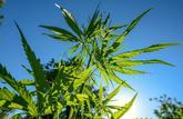J'ai planté du cannabis dans mon jardin