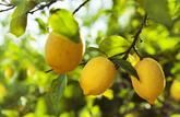 Le citron, pressé de vous servir