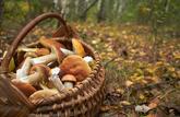Amateurs de champignons, gare aux intoxications avec les espèces non-comestibles
