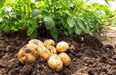 L'énergétique pomme de terre
