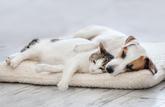 Pas de transmission du coronavirus par les animaux domestiques