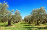 Et si j'achetais une oliveraie