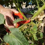 Tomate, aubergine, melon: la taille s'impose!