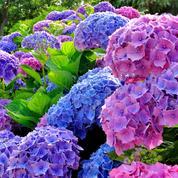 Hortensias: comment les faire bleuir à coup sûr