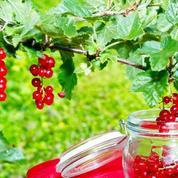 Cassis, framboise, groseille: comment planter et cultiver ces fruits rouges?