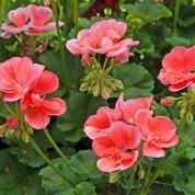 Pélargonium à parterres, des variétés à foison