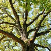 Que planter à l'ombre de grands chênes?