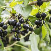 Cassissier, le fruit du chanoine Kir