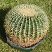 Echinocactus, pour la beauté des épines