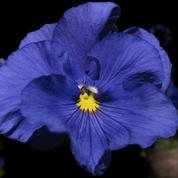 Pensée à grande fleur, de la couleur même en hiver