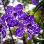 Vandas, orchidées géantes ou lilliputiennes