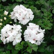 Pélargonium lierre, des fleurs toute l'année ou presque