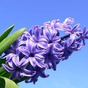 Jacinthe, un exquis parfum de mars