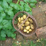 Pomme de terre, le tubercule vedette du potager