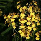 Oncidium, orchidée des montagnes d'Amérique tropicale