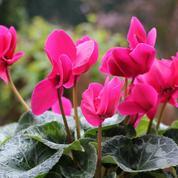 Cyclamen de Perse, une belle floraison d'automne
