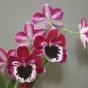 Miltonia ou «orchidées pensées»