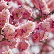 Abricotier japonais, une profusion de fleurs