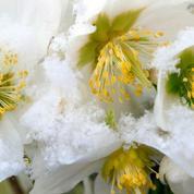Hellébore ou rose de Noël, des fleurs au cœur de l'hiver