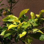Jaunissement du citronnier: est-ce une carence en fer?
