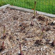 Asperge, le légume des terres sableuses