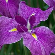 Iris japonais, robuste et florifère