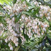 Andromède du Japon, arbuste de sous-bois et sol acide