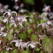 Épimédiums, les fleurs des elfes