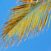 Pourquoi mon palmier jaunit-il?