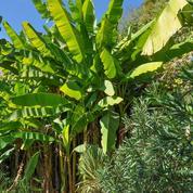 Bananier d'ornement, l'herbe géante
