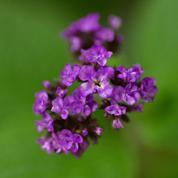 Héliotrope ou fleur des dames