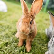 Comment élever de «vrais» lapins de ferme