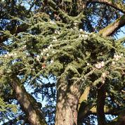 Cochenilles: comment protéger un cèdre parasité?