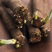 Scorsonère, appréciée pour sa racine et ses feuilles