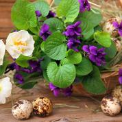 Violettes odorantes, des fleurs au parfum unique