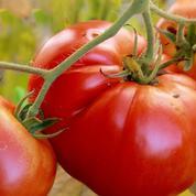 Jardin: comment récolter des tomates jusqu'à la Toussaint