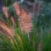 Pennisetum ou herbe aux écouvillons