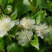 Myrte luma, arbuste persistant au beau tronc cuivré
