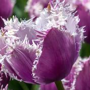 Tulipes, crocus, narcisses: la plantation, c'est maintenant!