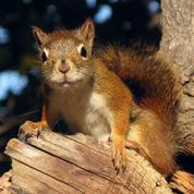 En Europe, la lèpre se cache... dans les écureuils
