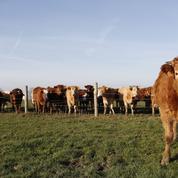 Vache folle: le prion détectable dans le sang
