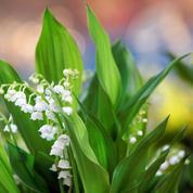 D'où vient la tradition du muguet le premier mai?