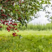 L'été, le bon moment pour tailler les cerisiers