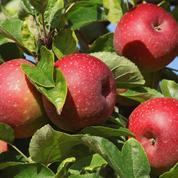 Comment conserver les pommes du jardin tout l'hiver