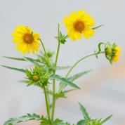 Chrysanthème comestible: tout se mange!