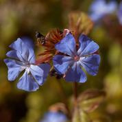 Plumbago de Willmott, jolie fleur de rocaille
