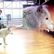 Danse avec les stars : interpellée par PETA, TF1 renonce à diffuser une séquence avec un loup