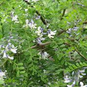 Sophora du père David, idéal pour les petits jardins
